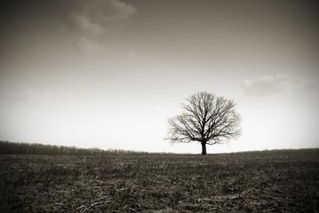 lonely bare oak in a field in a fog