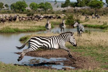 Zebra jumping (Equus quagga), Maasai Mara National Reserve, Rift Valley, Kenya, Africa