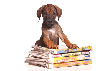 Red-haired puppy Ridgeback dog and newspaper (isolated on white)