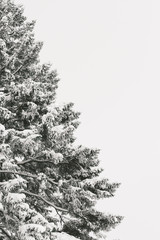 Pine tree covered in snow, cropped with copy space to the right