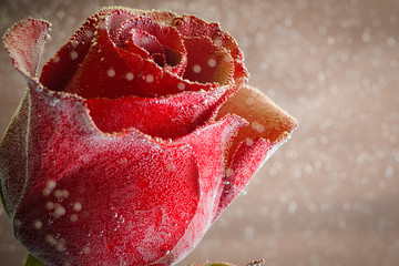 Beautiful red rose, all covered with air bubbles on a orange background