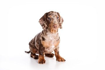 Cute dachshund puppy (isolated on white) Fotobehang