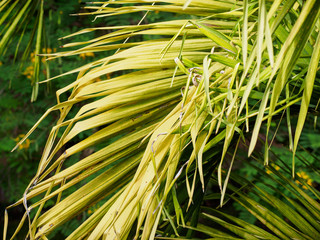 Close-up detail of the yellow green leaves on a palm frond. Hua Hin, Thailand. Travel and nature background concept.