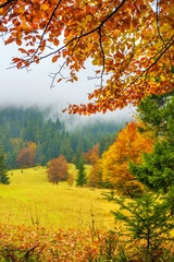 Printed roller blinds Panorama Photos A view of a glade with fir trees in the fog through the branches of yellow trees. A beautiful view of the autumn forest and trees.