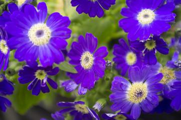 Violet Flowers