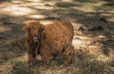 Piccolo vitello, mucca di razza scozzese mangia il fieno