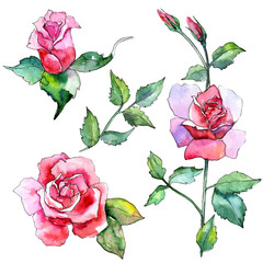 Wildflower rose flower in a watercolor style isolated. Full name of the plant: pink rose. Aquarelle wild flower for background, texture, wrapper pattern, frame or border.