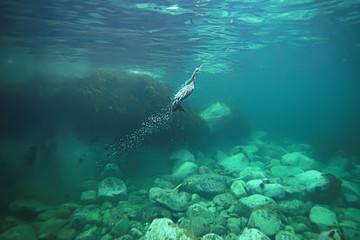 cormorant hunts underwater photo