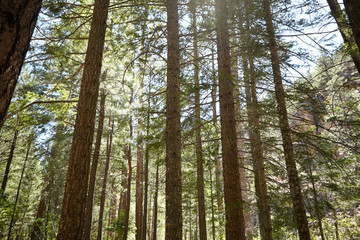 Coniferous trees in forest on sunny day