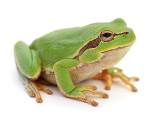 Poster Grenouille Green frog isolated.