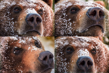 emotions collage of brown bear muzzle in snow. curious, angry, proud and wily look of an animal. focus on eyes or nose