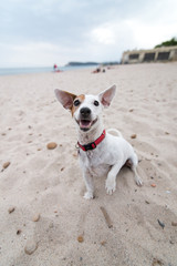 Jack Russell Terrier dog play on the beach