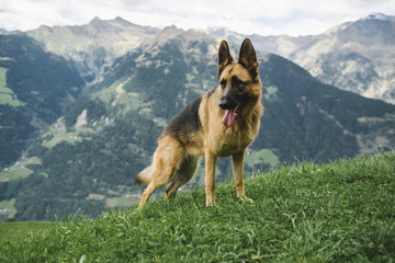 German shepherd on the mountain