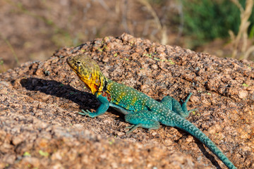 Colorful Mountain Boomer (Collared Lizard) in the Wichitas