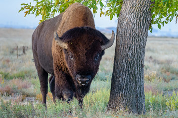 American Bison Bull - Genetically Pure Specimen