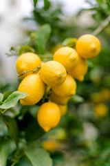 Griechenland, Attika, Athina, Zitronen am Baum