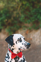 Profile of a dalmatian dog with a red bow
