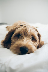 Tired Labradoodle Puppy Lying On Bed Looking Into Camera