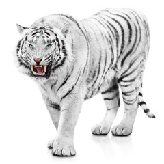 Furious white tiger