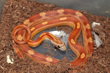 Cool patterned corn snake