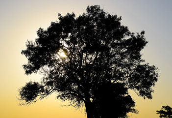 Lime tree on a sunset background. Black silhouette of a tree.
