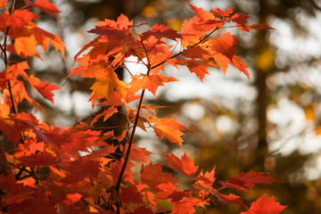 Sunset Red Maple Leaves