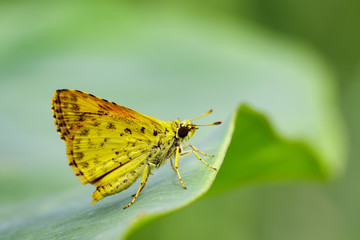 Image of common dartlet butterfly (Oriens gola Moore,1877) on a green leaf on nature background. Insect Animal