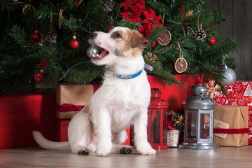 Dog. Young jack russell terrier on Christmas background