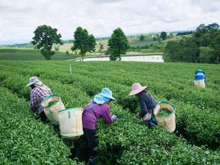 Workers picks tea despite ongoing labor strikes at the tea farm in Chiang rai, Thailand.