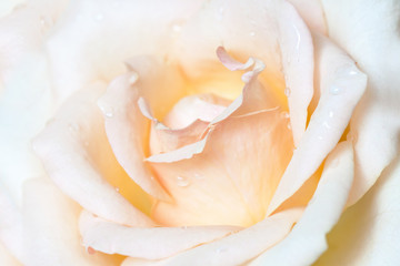 Beautiful rose flower with drops. Floral wallpaper with soft light effect