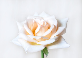 Beautiful white rose flower wallpaper, with soft light effect