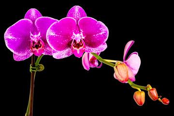 orchidée fuchsia sur fond noir