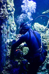 Diver maintaining the coral in aquarium