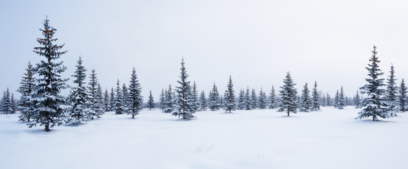 Fir trees in winter snow