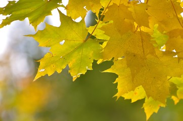 Detail photo of yellow and green maple leaves on autumn blurred background.