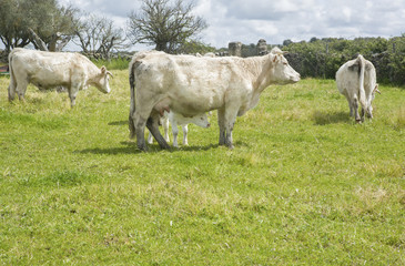 Charolais cattle grazing at Salor countryside, Caceres, Spain
