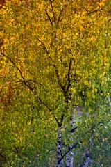 Photo sur Aluminium Bosquet de bouleaux autumn leaves of a birch on a tree