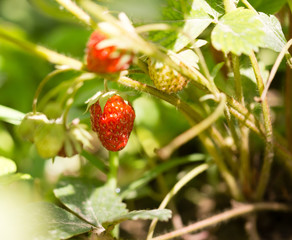 Red ripe strawberries in the garden