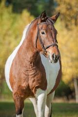 Portrait of beautiful paint horse