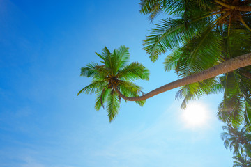 Palm tree with coconuts hang over tropical beach at sunny summer day