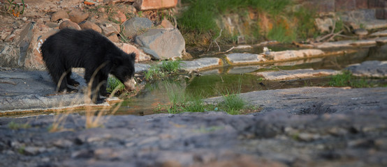 Panoramic photo of wild Sloth Bear, Melursus ursinus in its natural environment of indian dry forest. Sloth Bear drinking at rocky waterhole. Wildlife in Ranthambore national park, India.