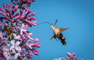 Hummingbird hawk-moth feeding on blossoms of lilac