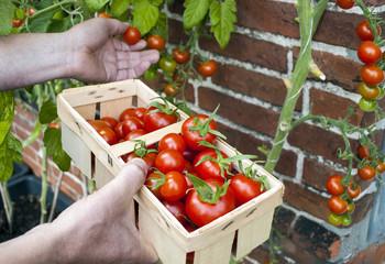 Männliche Person pflückt Tomaten aus Freilandanbau und hält Korb in der Hand, Solanum lycopersicum