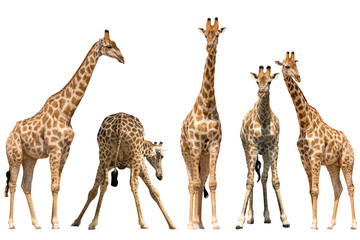 Set of five giraffe portraits, standing, isolated on white background
