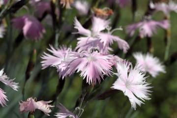 Cheddar pink (Dianthus gratianopolitanus)