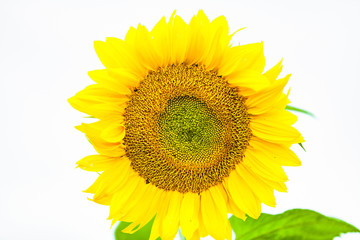view of isolated sunflower in summer