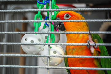 Pretty parrot in cage with wiffle ball toy. A pet Jenday Conure  (Jandaya Parakeet)  Aratinga jandaya. Bird with bright orange and green feathers, native to Brazil and closely related to Sun Conures.