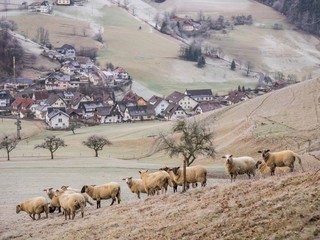 Flock of sheep on meadow with village in background
