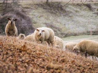 Flock of sheep on grass field