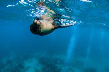 Playful galapagos sea lion
